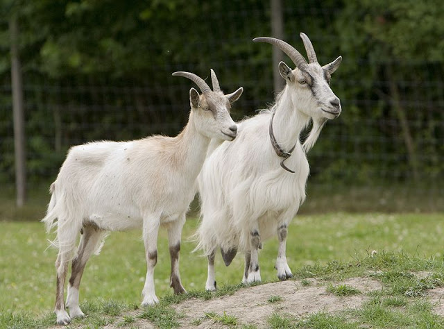 صورة رؤية الماعز في المنام لابن سيرين , اعرف لما ترى الماعز فى حلمك