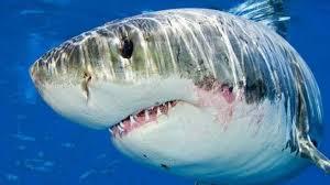 صورة سمك القرش في المنام , تفسير رؤيه القرش فى الحلم تعرف معنا