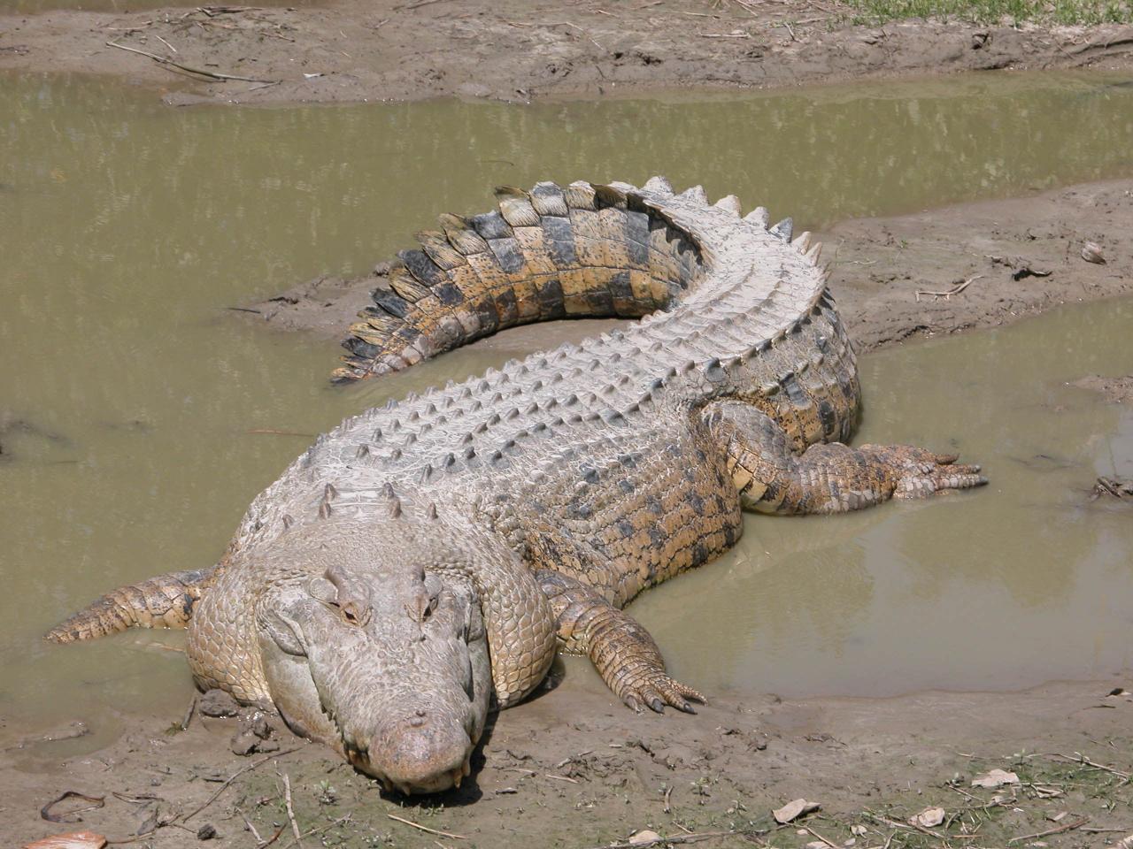 صورة اسم التمساح بالانجليزي , كلمة انجليزية تعرف عليها