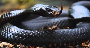 تفسير حلم الثعبان الاسود , الافاعي السوداء في المنام