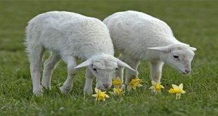 صورة الماعز في المنام , راى المفسرين فى رؤيه الماعز فى الحلم