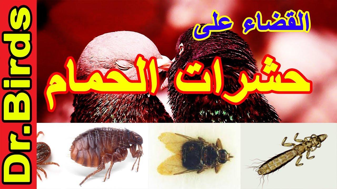 صورة كيف نقضي على القمل , تخلصي من حشرات الراس بمكون من البيت