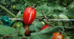 صورة امراض الطماطم بالصور , لا تاكلي تلك الطمطمايه