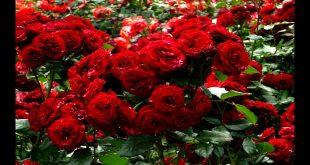 صورة انواع الورود التي تزرع في الصيف , لحمل ورود تزرع في الصيف
