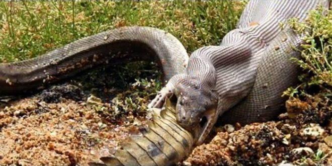 صورة اكبر ثعبان في العالم , هتندهش لما تشوف اكبر تعبان في الامازون