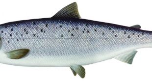 صورة اين يعيش سمك السلمون , مكان السلمون