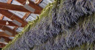 فوائد عشبة الخزامى , علاج فعال للبشره والشعر بعشبه الخزامي