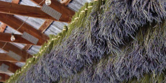 صورة فوائد عشبة الخزامى , علاج فعال للبشره والشعر بعشبه الخزامي